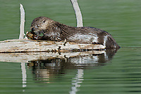 River Otter (Lontra canadensis)eating old fish head.  Western U.S., June.