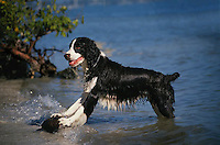Pleased Springer Spaniel with wet coconut retrieved from the ocean off Grand Cayman Island