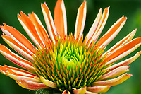 Close up of Sombrero Adobe Orange (Echinacca) flower. Oregon