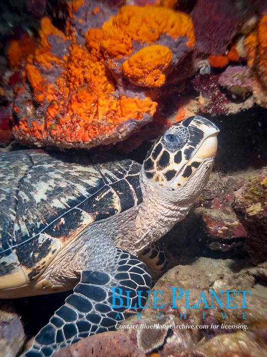 hawksbill sea turtle, Eretmochelys imbricata, radio, Soufriere Scotts Head Marine Reserve, Soufriere, St Mark, Commonwealth of Dominica, Dominica, Caribbean Sea, Atlantic Ocean