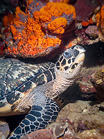 hawksbill sea turtle, Eretmochelys imbricata, radio, Soufriere Scotts Head Marine Reserve, Soufriere, St Mark, Commonwealth of Dominica, Dominica, Caribbean Sea, Atlantic Ocean