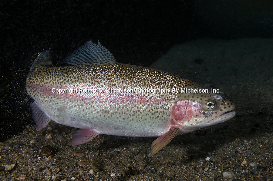 Rainbow Trout full body view facing right on sand bottom