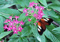 Stock photo: Gorgeous postman butterfly spreading wings about to fly on cute pink flowers in the callaway gardens in Georgia, USA.