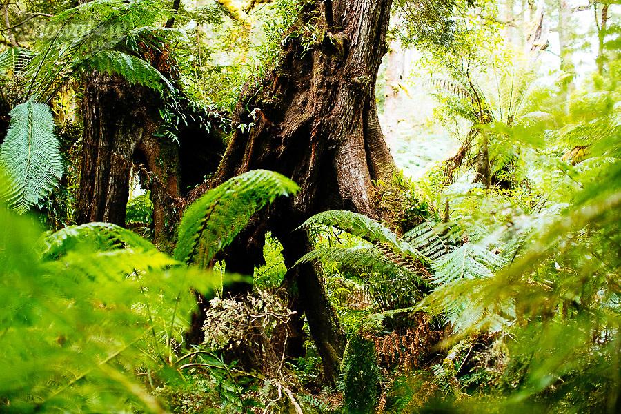 Image Ref: CA300<br /> Location: Maits Rest Rainforest Walk, Cape Otway<br /> Date of Shot: 27.04.18