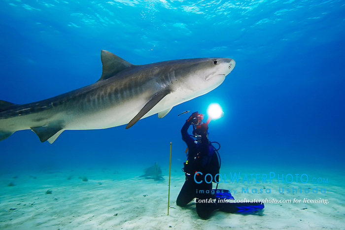 woman scuba diver photographing tiger shark, Galeocerdo cuvier, Grand Bahama, Bahamas, Caribbean Sea, Atlantic Ocean, Model Released: MR-000054