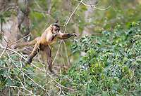 Tiny juvenile Black-striped Tufted Capuchin (Cebus libidinous) didn't hesitate to take the plunge from the treetops as he chased down his buddy.  Amazingly agile, these little guys are so fast that it can be difficult to get a clean shot of them.  The Pantanal, Brazil.