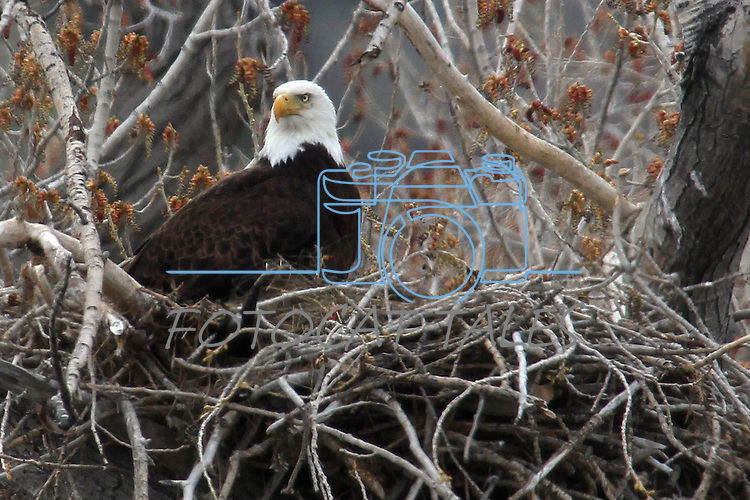 A bald eagle sits in a nest near Genoa, Nev., on Saturday, April 23, 2011..Photo by Cathleen Allison