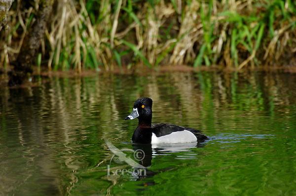 Ring-necked Duck (Aythya collaris) drake.  Pacific Northwest.