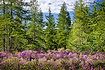 Wild Rhodora at the Great Meadow, Acadia National Park, Downeast, ME, USA