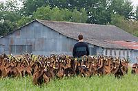 Europe/France/Centre/Indre-et-Loire/ Sepmes: Sébastien Beaury et son Troupeau de chèvres de la Ferme: Le Cabri au lait de  Sébastien Beaury & Claire Proust, Ferme pédagogique,  Eleveurs caprins, Fromagers producteurs de fromages bio : AOP Sainte-Maure de Touraine  //France, Indre et Loire, Sepmes: Sébastien Beaury and Herd of goats Farm: The Cabri milk Sébastien Beaury & Claire Proust, Educational farm, goat breeders, producers of organic cheeses Cheese: AOP Sainte-Maure de Touraine<br /> - Auto N: 2013-128