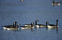 Kanadagans, Kanada-Gans, Gans, Branta canadensis, Canada goose