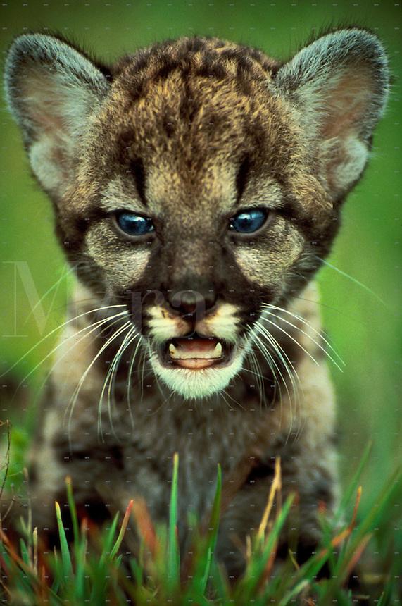 Florida panther, 8 week old cub [Felis concolor coryi]. Wildlife. Florida.