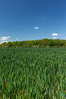 29-5-2021 Winterwheat<br /> ©Tim Scrivener Photographer 07850 303986<br />      ....Covering Agriculture In The UK....