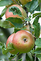 Apple 'New Bess Pool', mid September. An English dessert apple raised by J. Stevens in Stanton-by-Dale, Yorkshire, sometime before 1850, from a 'Bess Pool' seedling.