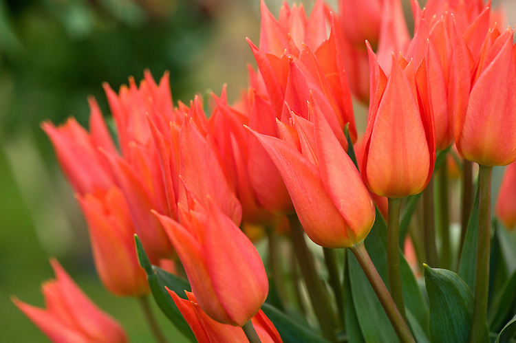 Tulip 'Jane Packer' (Lily-flowered Group).