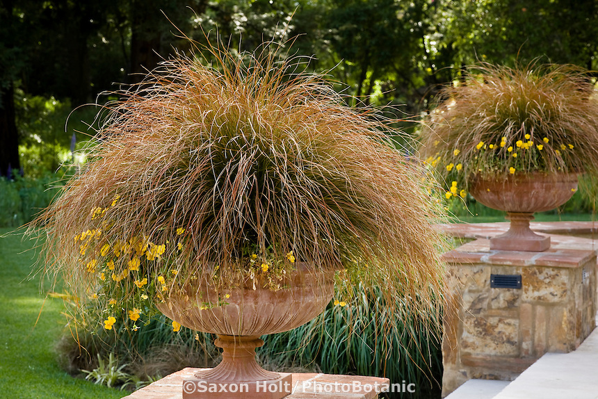 Carex testacea, orange foliage sedge in terra cotta container on low garden wall