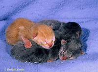 SH30-005z  Cat - Kittens one day old