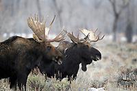 Moose Bulls, Grand Teton National Park