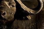 Male African (Cape) Buffalo (Syncerus caffer). Okavango Delta, Botswana.