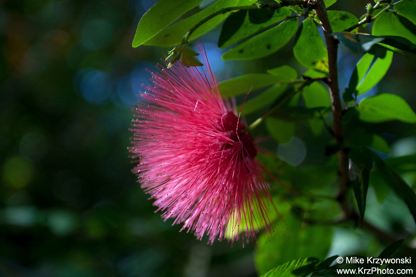 Ohia Lehua Flower