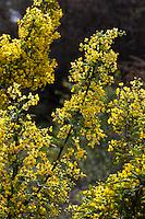 Berberis nevinii - Nevin's Barberry (Mahonia) Yellow flowering California native shrub