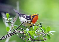 Male blackburnian warbler