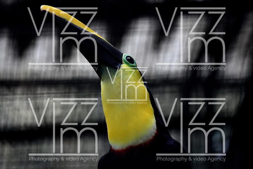 CALI - COLOMBIA - 27 - 09 - 2017: Tucan Piquiverde (Ramphastos Sulfuratus), especie de ave en el Zoologico de Cali, en el Departamento del Valle del Cauca. / Tucan Piquiverde (Ramphastos Sulfuratus), species of bird in the Zoo of Cali, in the Department of Valle del Cauca. / Photo: VizzorImage / Luis Ramirez / Staff.