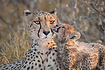 A protective cheetah mother keeps a watchful eye over her young cubs, scanning for potential threats such as lions, leopards and hyenas.  Once she knew it was safe, she dropped them at the edge of a pool to drink, remaining a reassuring presence over them.<br /> <br /> Despite being the fastest animal on land, capable of reaching speeds of up to 130 kilometres an hour, the big cat is an endangered species.  These photographs were taken by wildlife photographer Kevin Dooley at the Onguma Game Reserve in Namibia, southwestern Africa.  SEE OUR COPY FOR DETAILS.<br /> <br /> Please byline: Kevin Dooley/Solent News<br /> <br /> © Kevin Dooley/Solent News & Photo Agency<br /> UK +44 (0) 2380 458800