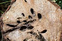 Weidenbohrer, Fraßspur, Frasspur, Bohrgang, Bohrgänge der holzfressenden Raupe in einem Weidenstamm, Weiden-Bohrer, Cossus cossus, goat moth, European goat moth, Le Cossus gâte-bois, Holzbohrer, Cossidae