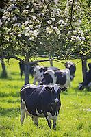 France, Calvados (14), Pays d' Auge, Env de Cambremer: Vaches et pommiers en fleurs // France, Calvados, Pays d' Auge, near Cambremer: grazing cows and apple orchard in bloom