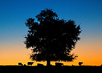 Cows gather under a tree at daybreak in Wacissa, Florida.