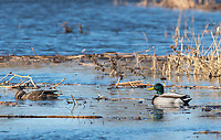 Male and female Mallards, Anas platyrhynchos, at Colusa National Wildlife Refuge, California
