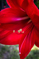 """Amaryllis, red and wide, blooming in a backyard, silently screaming, """"Spring""""."""