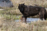 Even in the middle of taking a drink, this member of Yellowstone's Canyon pack feels the need to look over her shoulder for threats that may be behind her.