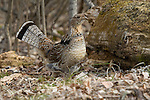Ruffed grouse standing next to his drumming log