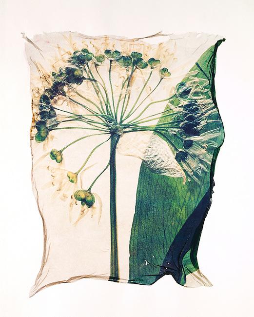 Pressed  Ramsons  ( Allium ursinum )-  Wild  flowers Wild Garlic- Polaroid lift.