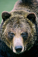 Grizzly bear (Ursus arctos) face.