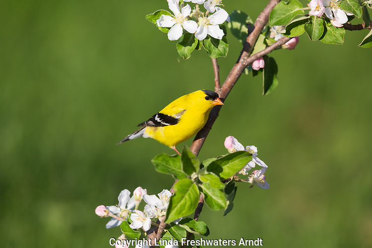 Male American goldfinch perched in a flowering apple tree.