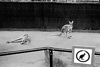 Australia. New South Wales. Sydney. Zoo. Kangaroos in cage. Sign with kangaroo drawing. 13.3.99  © 1999 Didier Ruef