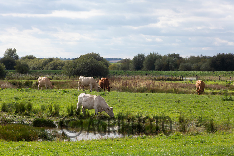 8.9.2020 Cattle grazing conservation wetland in the Lincolnshire Fens <br /> ©Tim Scrivener Photographer 07850 303986<br />      ....Covering Agriculture In The UK.