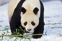 Giant panda (Ailuropoda melanoleuca).  Winter.
