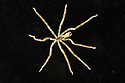 Sea Spider (Ammothea hilgendorfi). This sepcies was first observed in the UK in 1978 in Southampton Water. The species is thought to have been introduced from Japan, originating in the tropical and temperate North Pacific littoral zone of south-east Asia. Dorset, UK. May.