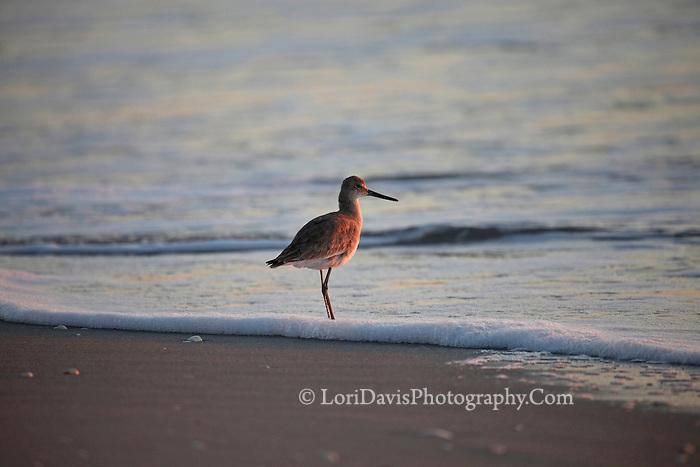 Sunset Willet on Beach  #Q47