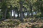 Vizzavona, Beech forest, Mediterranean forest, Corsica, France, Mediterranean Coast, Coastal towns in Corsica,