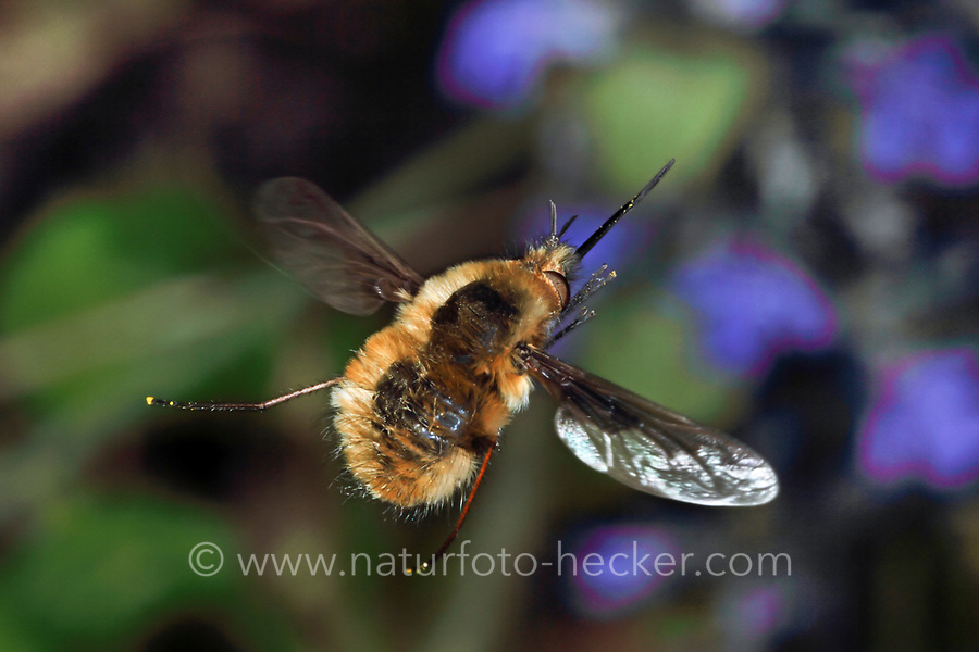 Großer Wollschweber, Hummelschweber, im Flug, fliegend, Schwirrflug, Bombylius major, Large Bee-fly, beeflies, beefly, Le grand bombyle, Bombyliidae