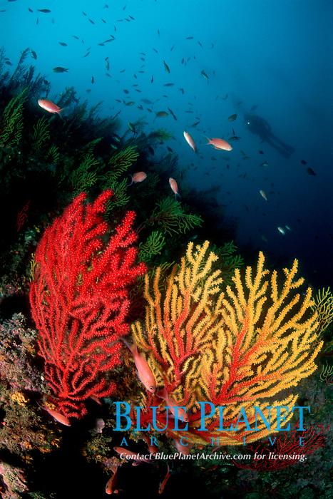 Red Gorgonia, Paramuricea clavata, Mediterraneanfairy basslet, Anthias anthias, and Diver, Islas Medas, L'Estartit, Costa Brava, Spain, Mediterranean Ocean