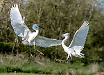 Battling egrets fight on grass by Lawrence Homewood