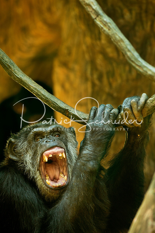 A chimpanzee laughs and hollers at The North Carolina Zoo, located in the town of Asheboro, North Carolina. The North Carolina Zoo, located about 70 miles west of Raleigh and about 90 miles from Charlotte, is one of the largest natural habitat zoos in the United States that allows visitors to walk through its grounds. One of only two state-supported zoos in the country, the NC Zoo was the first American zoo to incorporate the natural habitat philosophy, which presents animals and plants together in exhibits that resemble the natural habits of these creatures in the wild. The North Carolina Zoological Park features animals from Africa and North America. The 1,500-acre  zoo is located atop Purgatory Mountain, which is part of the Uwharrie Mountains in central North Carolina.
