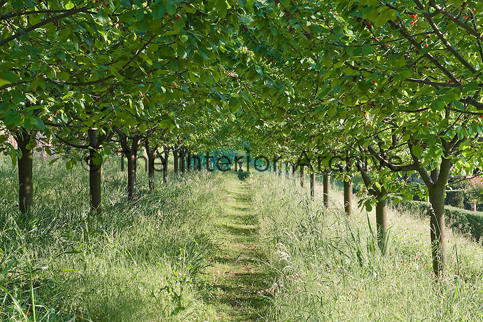 The vista down an avenue of cherry trees culminates in a large antique urn