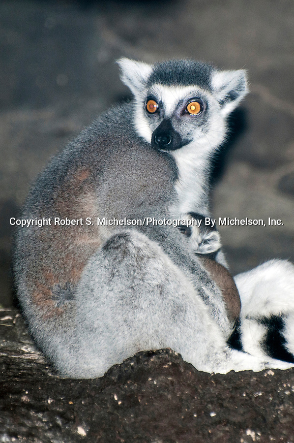ring-tailed lemur with newborn twins, young head sticking out from under mothers arm, young lemurs were born 20 minutes bfore photo was taken